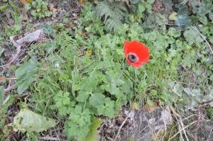 Den første anemone