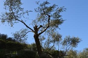 Beskåret oliventræ
