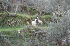 Geder i olivenlunden