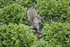 Egern i Battery Park